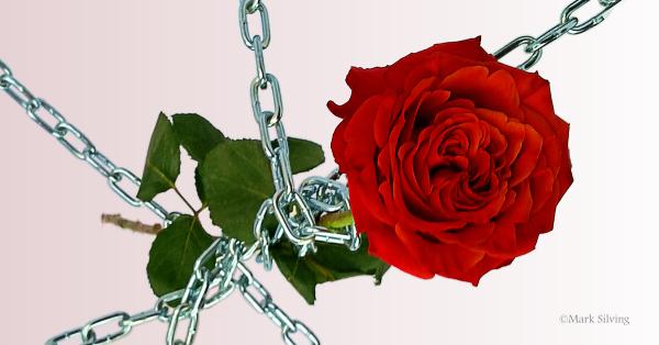 SoG-Rose-verlauf-600x314-Mark-Silving